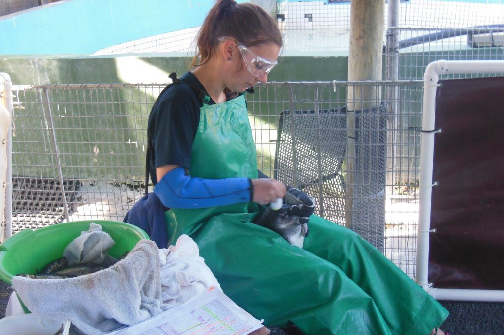 Freiwilligenarbeit mit Pinguinen Kapstadt