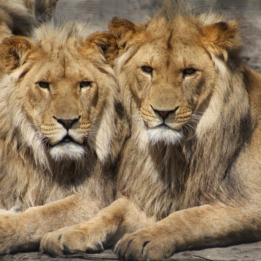 lion conservation south africa